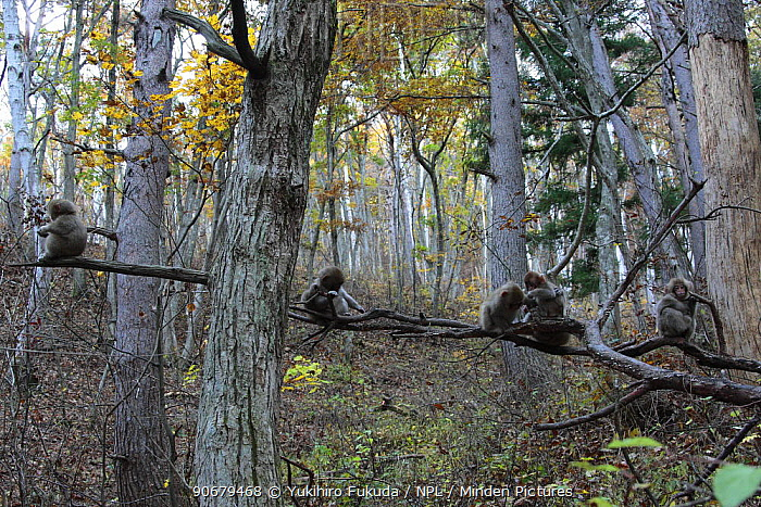 Japanese macaque, Snow monkey (Macaca fuscata) young monkeys playing in trees, Jigokudani, Nagano, Japan  -  Yukihiro Fukuda/ npl