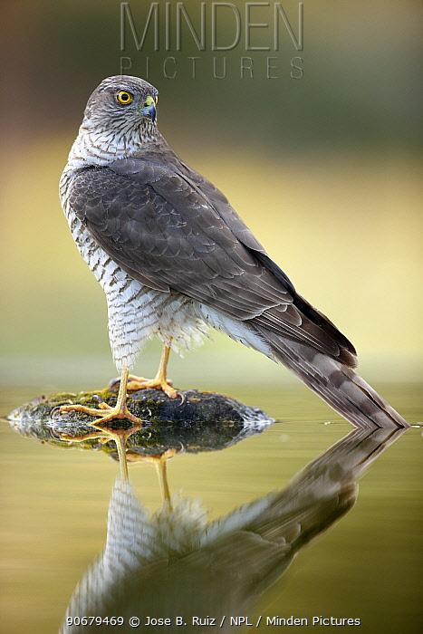 Sparrowhawk (Accipiter nisus) reflected in water, Alicante, Spain  -  Jose B. Ruiz/ npl