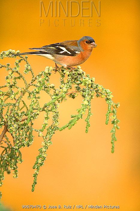 Chaffinch (Fringilla coelebs) male feeding on branch, Alicante, Spain  -  Jose B. Ruiz/ npl