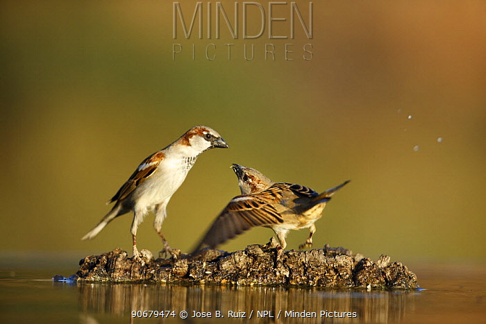 Common sparrows (Passer domesticus) interacting near water, Alicante, Spain  -  Jose B. Ruiz/ npl