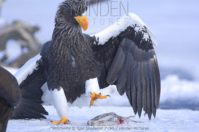 Steller's sea eagle (Haliaeetus pelagicus) about to pick up Sockeye salmon prey in its claws, Kuril Lake, Kamchatka, Far East Russia  -  Igor Shpilenok/ npl