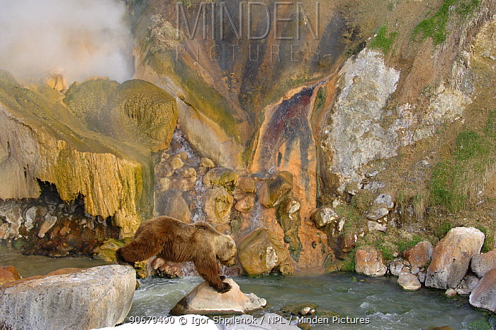 Kamchatka brown bear (Ursus arctos beringianus) at the Malachite Grotto,  -  Igor Shpilenok/ npl