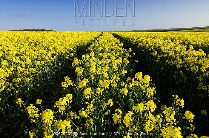 Crop of oilseed rape flowering (Brassica napus), near Hartland, Devon, UK April 08  -  Ross Hoddinott/ npl