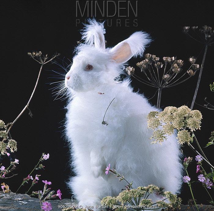 White long-haired Angora rabbit amongst plants  -  Jane Burton/ npl