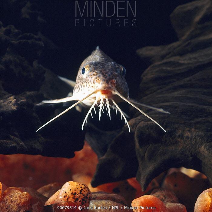 Upside down catfish (Synodontis sp) head portrait showing barbels, captive, from Africa  -  Jane Burton/ npl