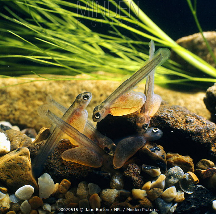 Brown trout (Salmo trutta) one-week-old alevins on river gravel, captive, from Europe  -  Jane Burton/ npl