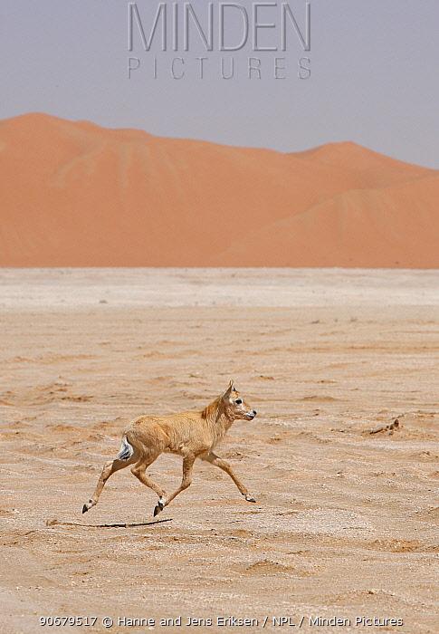 Arabian oryx (Oryx leucoryx) calf being released into the wild after captivity, Abu Dhabi  -  Hanne & Jens Eriksen/ npl