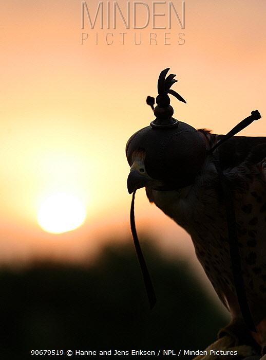 Hooded falconer's falcon silhouetted at sunset, captive, Al Ain, UAE  -  Hanne & Jens Eriksen/ npl