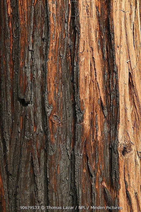 Fire scorched bark of Incense cedar tree (Calocedrus decurrens) Yosemite National Park, California, USA  -  Thomas Lazar/ npl