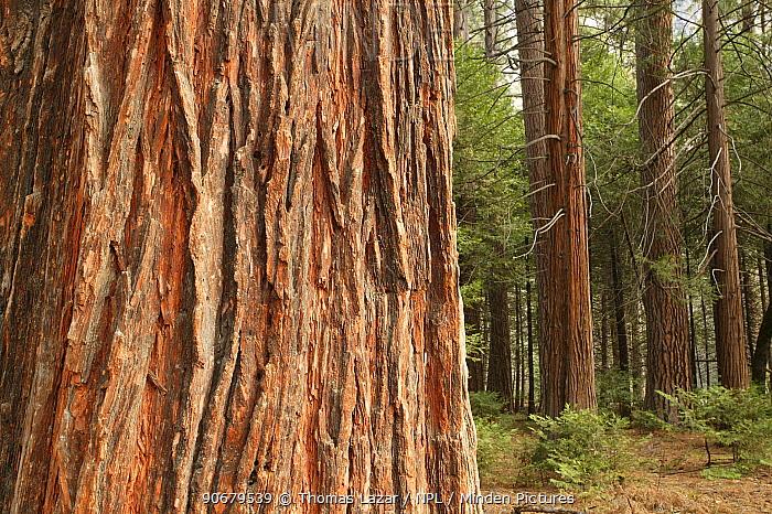 Bark of Incense cedar tree (Calocedrus decurrens) with younger cedars and Ponderosa pine trees (Pinus ponderosa) behind, Yosemite National Park, California, USA  -  Thomas Lazar/ npl