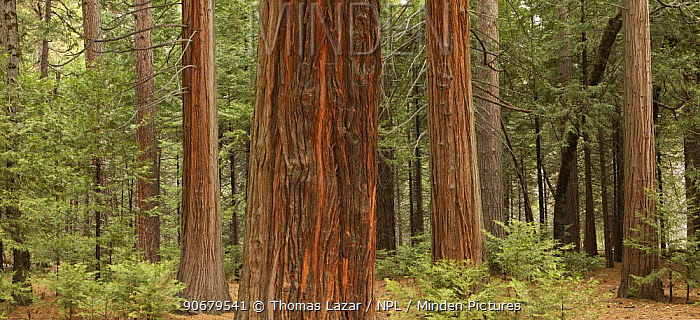 Incense cedar (Calocedrus decurrens) trees in various stages of growth, lower montane forest, Yosemite National Park, California, USA  -  Thomas Lazar/ npl