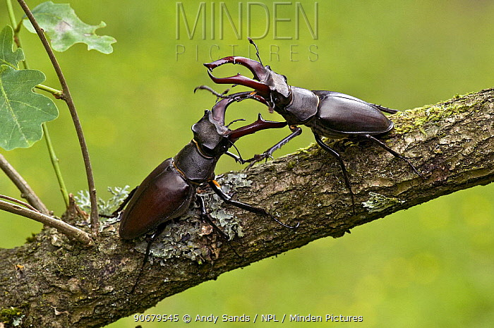 Stag Beetle (Lucanus cervus) two males fighting, West Sussex, England UK  -  Andy Sands/ npl