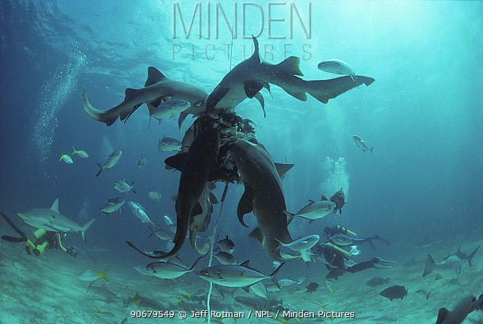 Nurse Shark (Ginglymostoma cirratum) feeding on bait with schooling sharks and reef fish, Bahamas, Caribbean Sea  -  Jeff Rotman/ npl
