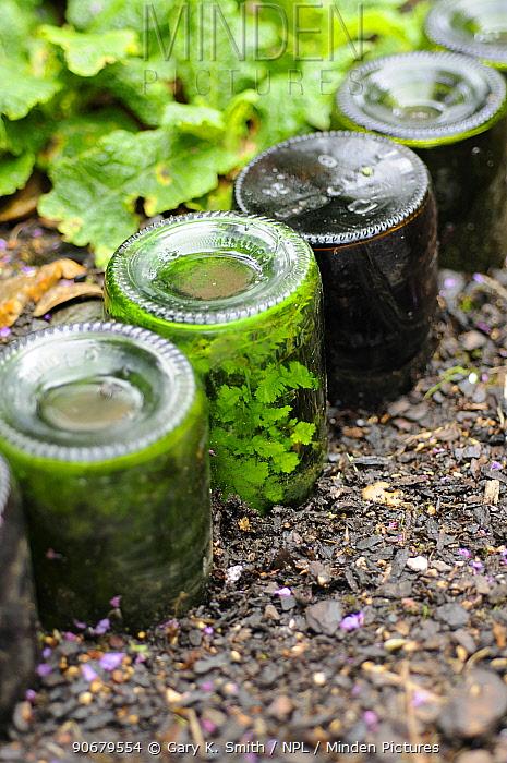 Ferns naturalised inside upturned bottles used as path edging feature, Norfolk, UK  -  Gary K. Smith/ npl