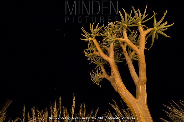 Quiver tree, Kokerboom (Aloe dichotoma) at night Namibrand Nature Reserve, on the edge of the Sossusvlei dunes, Namib Desert, Namibia  -  Nick Garbutt/ npl