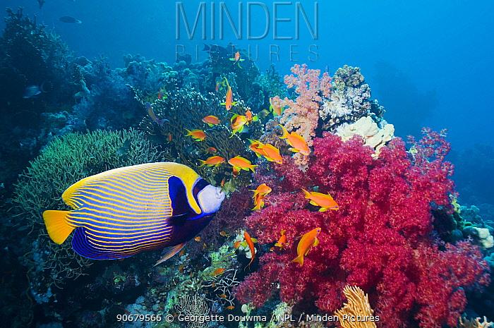 Emperor angelfish (Pomacanthus imperator) Red Sea, Egypt  -  Georgette Douwma/ npl