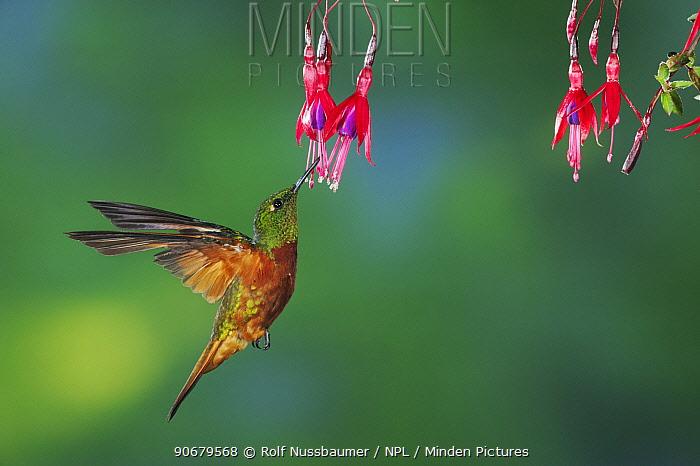 Chestnut-Breasted Coronet hummingbird (Boissonneaua matthewsii) adult feeding from fuchsia flower, Papallacta, Ecuador, Andes, South America, January  -  Rolf Nussbaumer/ npl
