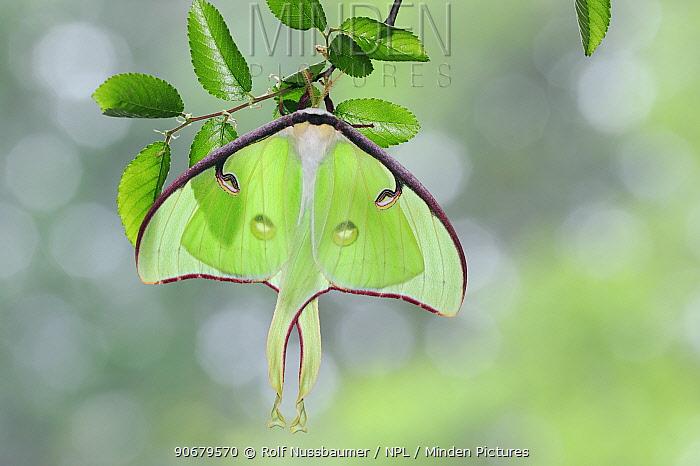 American moon, Luna Moth (Actias luna) resting on Cedar Elm (Ulmus crassifolia), New Braunfels, Texas, USA, March  -  Rolf Nussbaumer/ npl