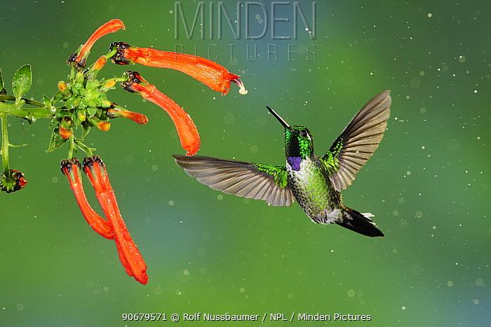 Purple-bibbed Whitetip (Urosticte benjamini) male feeding from flower, Mindo, Ecuador, Andes, South America, January  -  Rolf Nussbaumer/ npl