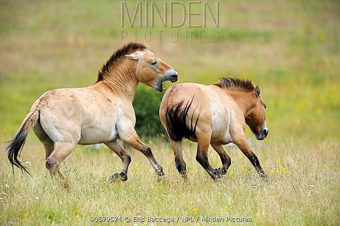 Semi wild Przewalski horses (Equus ferus przewalskii), stallion biting another stallion to chase it from his herd, Parc du Villaret, Causse Mejean, Lozere, France  -  Eric Baccega/ npl