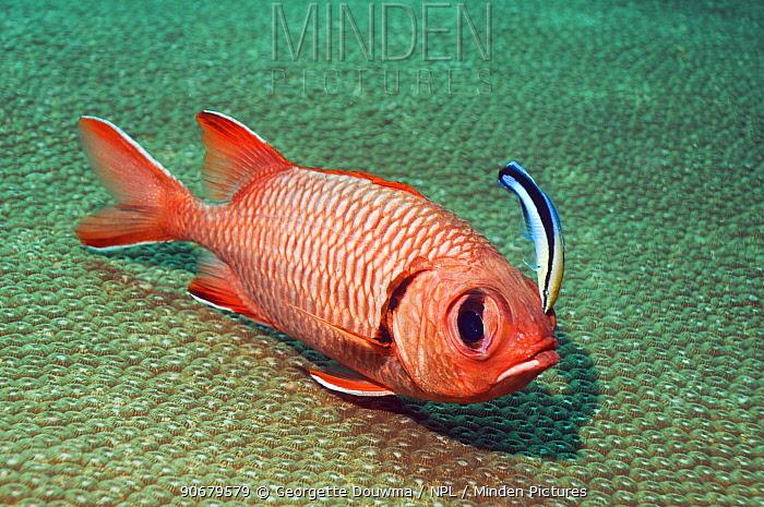 Red soldierfish (Myripristis murdjan) being cleaned by a Bluestreak cleaner wrasse (Labroides dimidiatus), Andaman Sea, Thailand  -  Georgette Douwma/ npl