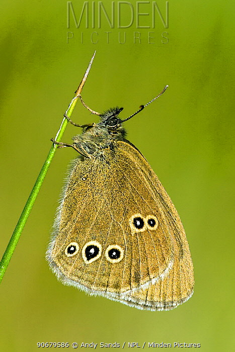 Ringlet butterfly (Aphantopus hyperantus) roosting in early morning sun, Hertfordshire, England, UK  -  Andy Sands/ npl
