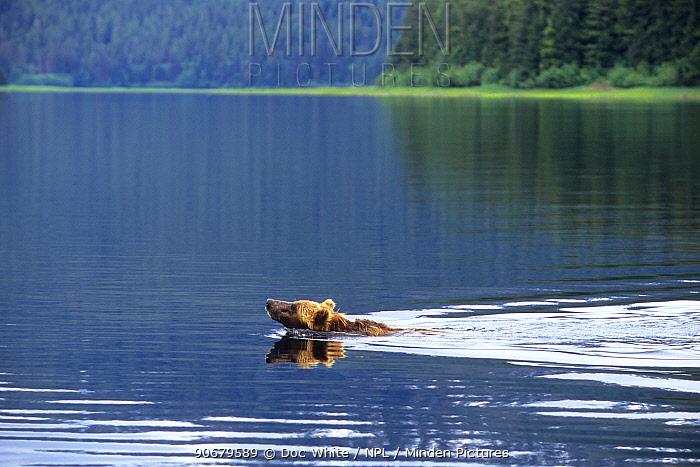 Brown bear (Ursus arctos) swimming, Alaska, USA  -  Doc White/ npl