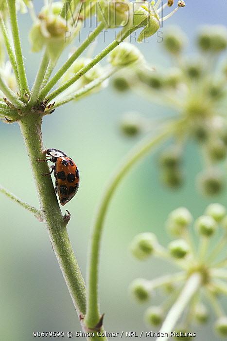 Multicoloured, Asian, Harlequin Ladybird (Harmonia axyridis) feeding on ivy flowers, UK  -  Simon Colmer/ npl
