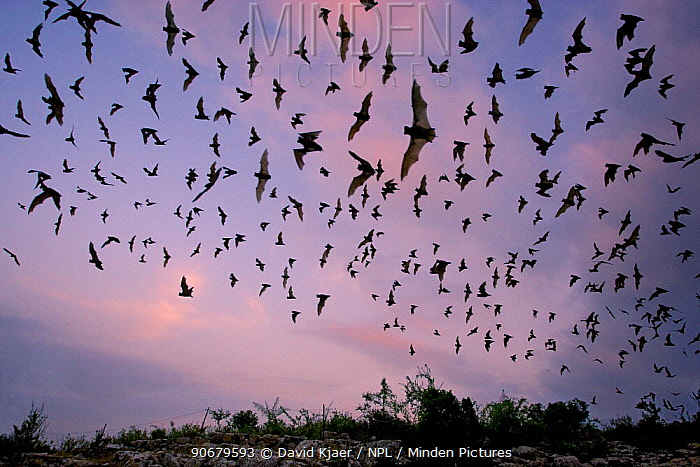Mexican Free-tailed Bat (Tadarida brasiliensis mexicana) emerging at dusk from Frio Cave, near Concan in the Texas Hill Country, Texas, USA  -  David Kjaer/ npl