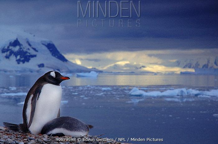 Gentoo Penguin (Pygoscelis papua) and chick on coast, Antarctica  -  Edwin Giesbers/ npl