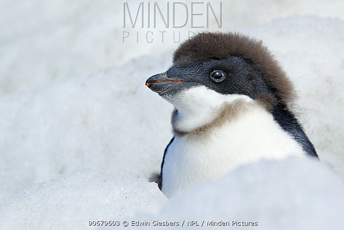 Adelie Penguin (Pygoscelis adeliae) chick beginning to moult, Antarctica  -  Edwin Giesbers/ npl
