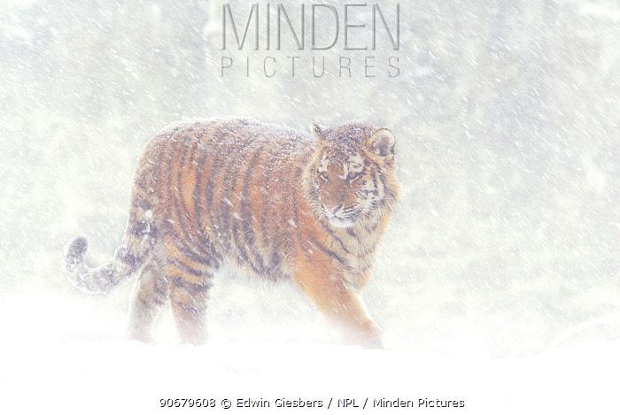 Siberian tiger (Panthera tigris altaica) in snow storm, captive  -  Edwin Giesbers/ npl