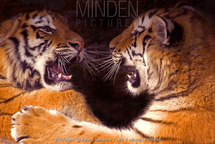 Siberian tiger (Panthera tigris altaica) two cubs play fighting, captive  -  Edwin Giesbers/ npl