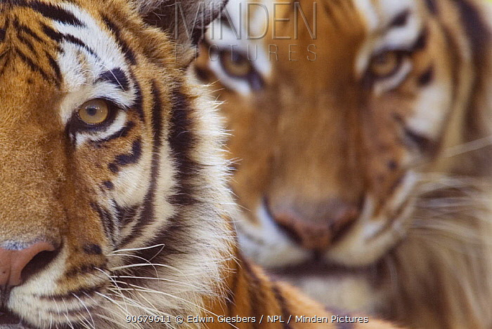 Two Siberian tigers (Panthera tigris altaica) portraits, captive  -  Edwin Giesbers/ npl