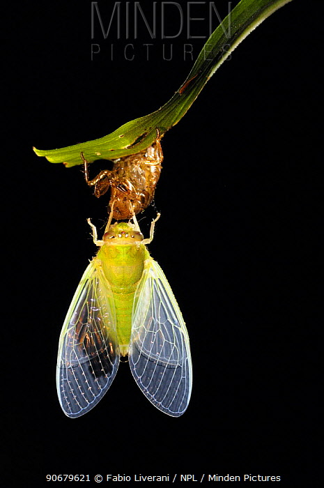 Cicada recently emerged from larval case, inflating its wings, sequence 4, 5, Tambopata National Reserve, Amazonia, Peru  -  Fabio Liverani/ npl