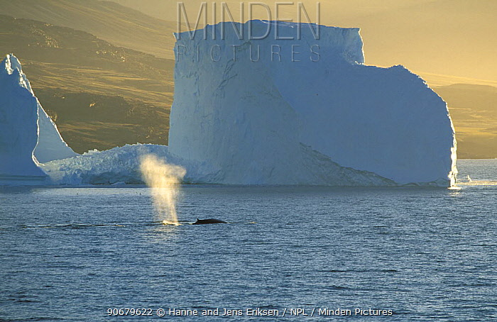 Fin whale (Balaenoptera physalus) spouting in front of iceberg, near Uummannaq, Greenland  -  Hanne & Jens Eriksen/ npl