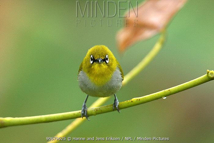 Oriental white eye (Zosterops palpebrosa) head on, Tamil Nadu, India  -  Hanne & Jens Eriksen/ npl
