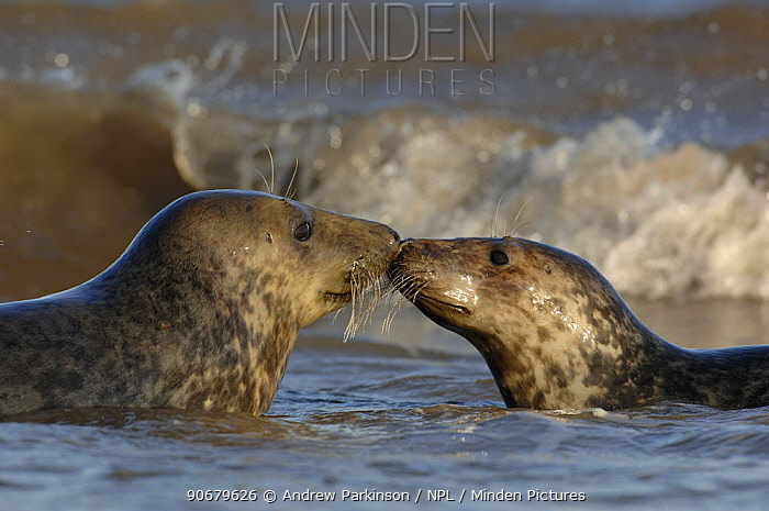 Grey seal (Halichoerus grypus) two adolescents interact among the breaking waves, Lincolnshire, UK  -  Andrew Parkinson/ npl