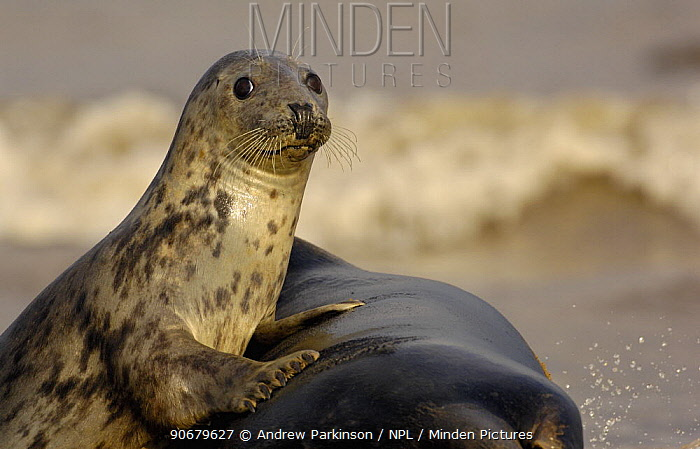 Grey seal (Halichoerus grypus) adult female rests on the larger body of an adult male Lincolnshire, UK  -  Andrew Parkinson/ npl