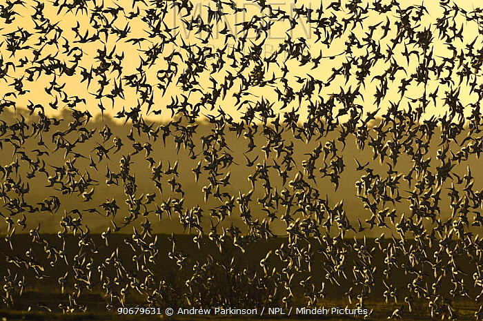 Knot (Calidris canutus) part of a large flock of approx 30,000 birds come in to land at dawn Norfolk, UK  -  Andrew Parkinson/ npl