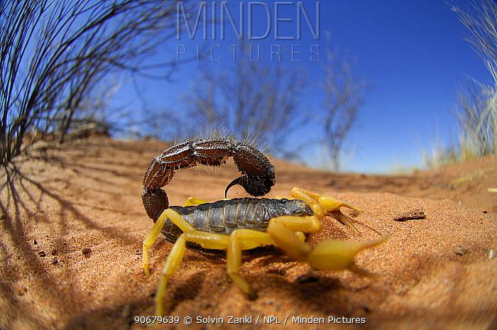 Desert scorpion (Parabuthus villosus) Namib desert, Namibia  -  Solvin Zankl/ npl