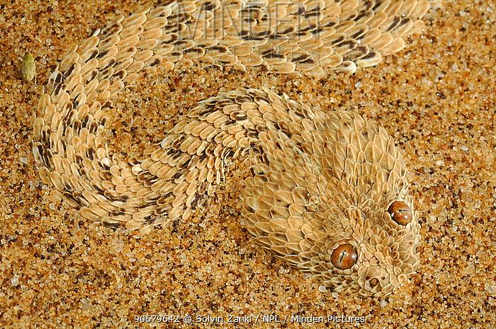 Dwarf puff adder, Peringueys sidewinding adder (Bitis peringueyi) camouflaged against sand, Namib desert, Namibia  -  Solvin Zankl/ npl