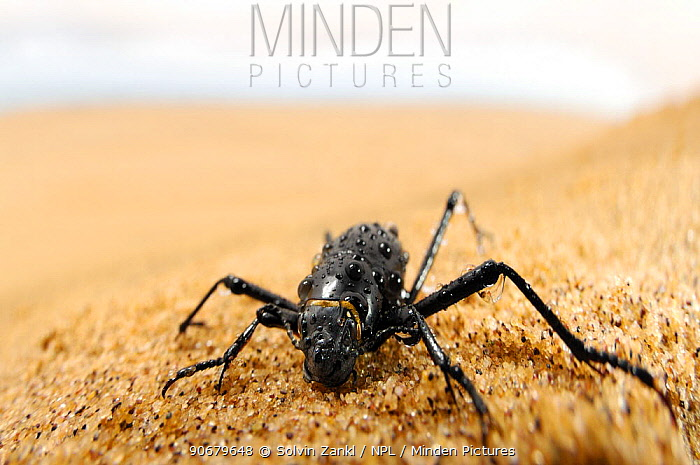 Namib desert beetle, Fog Basking Beetle (Stenocara gracilipes) drinking droplets of water which gather on its body during the early morning fog over the dunes, Namib desert, Namibia  -  Solvin Zankl/ npl
