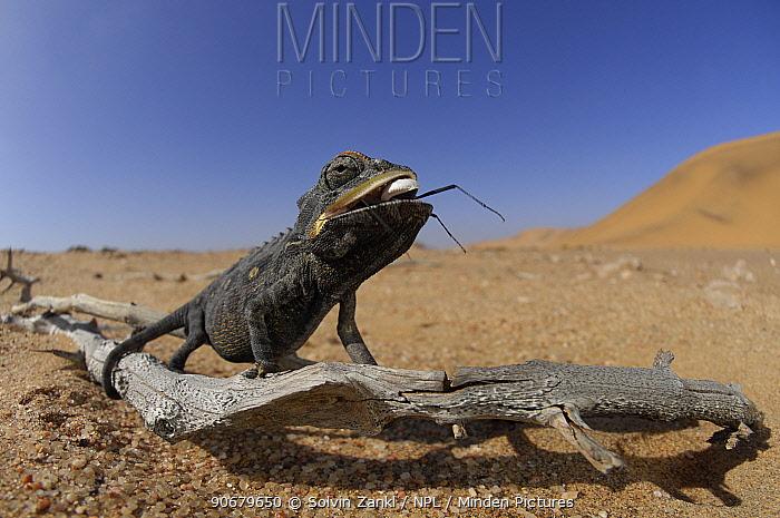 Desert chameleon (Chamaeleo namaquensis) feeding on beetle, Namib Desert, Namibia  -  Solvin Zankl/ npl