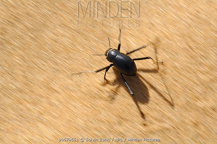 Namib desert beetle (Stenocara gracilipes) running over hot sand on its long legs, Namib desert, Namibia  -  Solvin Zankl/ npl