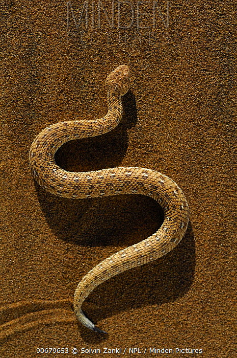 Dwarf puff adder, Peringueys Sidewinding Adder (Bitis peringueyi) moving over the loose sand in typical mode of locomotion, Namib desert, Namibia)  -  Solvin Zankl/ npl