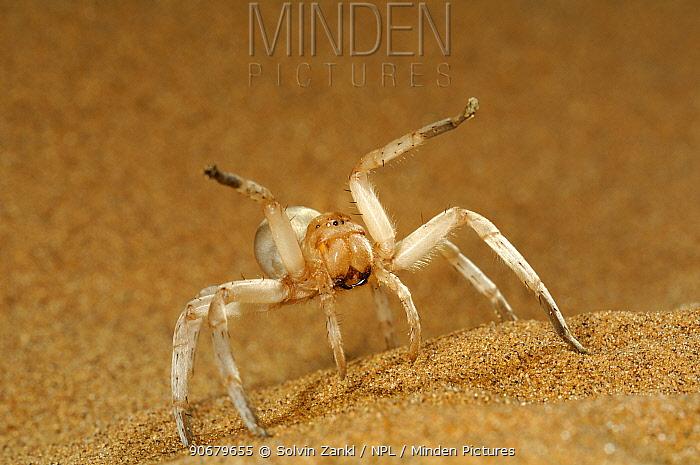 Dancing White Lady Spider (Leucorchestris arenicola) 'dancing' in defensive threat display on sand dune, Namib Desert, Namibia  -  Solvin Zankl/ npl