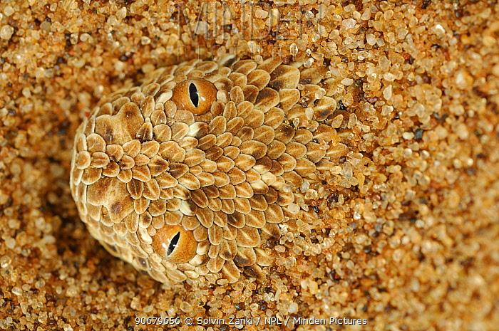 Dwarf puff adder, Peringueys Sidewinding Adder (Bitis peringueyi) hidden in sand of Namib desert, Namibia  -  Solvin Zankl/ npl
