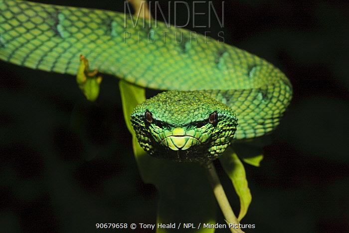Temple, Wagler's Pit Viper [Tropidolaemus wagleri] Bako National Park, Sarawak, Borneo September  -  Tony Heald/ npl