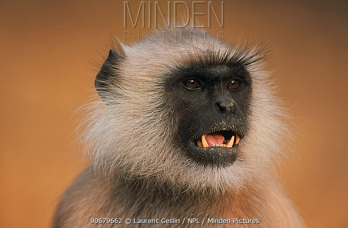 Southern plains grey, Hanuman langur (Semnopithecus dussumieri) head portrait of dominant male with agressive posture, Sariska Reserve, Rajasthan, India  -  Laurent Geslin/ npl